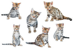 Bengal Kittens playing isolated Royalty Free Stock Image