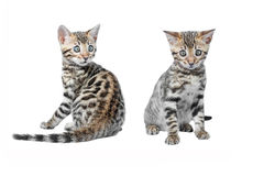 Bengal Kittens playing isolated Stock Photo