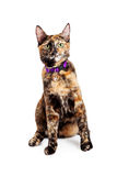 Bengal Kitty Cat Sitting arkivfoton