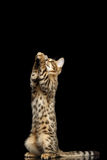 Bengal Kitty Funny Standing on hind legs Isolated Black Background Royalty Free Stock Photo