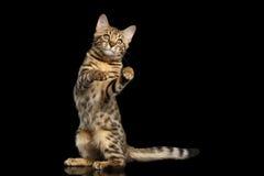 Bengal Kitty Funny Standing nos pés traseiros isolou o fundo preto Imagens de Stock