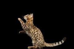 Bengal Kitty Funny Standing nos pés traseiros isolou o fundo preto Fotografia de Stock Royalty Free