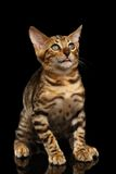 Bengal Kitty Sits and Looking Up dumbfounded on Stock Photo