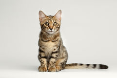 Bengal Kitty Sitting on White Background and Curious Stare Royalty Free Stock Image