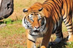 bengal kobiety tygrys obrazy stock