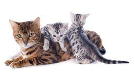 Bengal-Kätzchen und -erwachsener Lizenzfreies Stockfoto