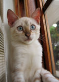 Bengal-Kätzchenportrait Stockbilder