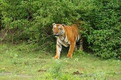 bengal kunglig persontiger Royaltyfri Bild