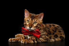 Bengal Male Cat with bow tie Lying on Black Isolated Royalty Free Stock Photo