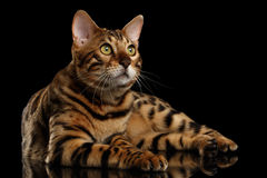 Bengal Male Cat Lying on Black Isolated Background, Looking up Royalty Free Stock Image