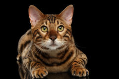 Bengal Male Cat Lying on Black Isolated Background, Looking up Stock Photo
