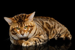 Bengal Male Cat Lying and Looking Frowning in Camera on isolated Black Background stock image