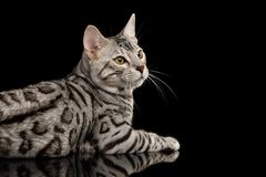 Bengal Kitten on Black Background. Bengal Male Cat with White Fur Lying and Looking at side on Isolated Black Background, side view Stock Image
