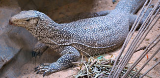 Bengal monitor Royalty Free Stock Photography