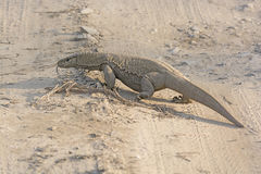 Bengal Monitor Crossing a Jungle Road Royalty Free Stock Photography