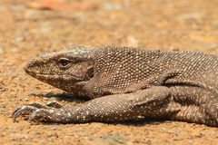 Bengal Monitor Lizard in the forest Royalty Free Stock Images
