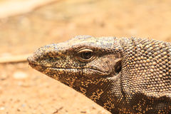 Bengal Monitor Lizard in the forest Stock Image