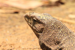 Bengal Monitor Lizard in the forest Stock Photography