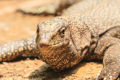Bengal Monitor Lizard in the forest Royalty Free Stock Photo