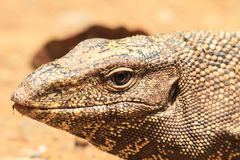 Bengal Monitor Lizard in the forest Royalty Free Stock Photography