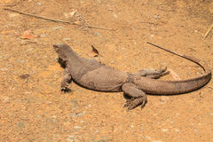 Bengal Monitor Lizard in the forest Stock Photos