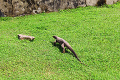 Bengal monitor lizard on the grass Royalty Free Stock Photos