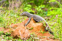 Bengal Monitor Lizard on a Large Ant Nest in Sri Lanka royalty free stock photo