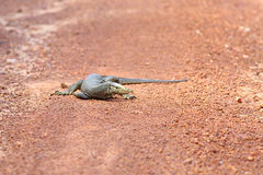 Bengal Monitor Lizard in Pang Sida National Park Royalty Free Stock Image