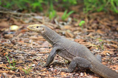 Bengal Monitor Lizard in Pang Sida National Park Stock Image
