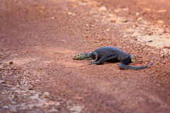 Bengal Monitor Lizard in Pang Sida National Park Royalty Free Stock Photography