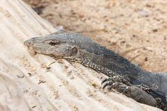 Bengal monitor on log Stock Photos