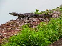 Bengal monitor. A Bengal monitor near Beira Lake in Colombo, Sri Lanka Stock Image