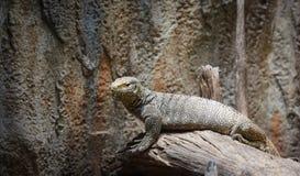 Bengal Monitor - Tree Monitor wildlife lizard / Varanus bengalensis. Selective focus stock photos