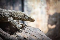 Bengal Monitor - Tree Monitor wildlife lizard / Varanus bengalensis. Selective focus royalty free stock photos