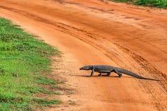 Bengal monitor or Varanus bengalensis. Or common Indian monitor crossing road stock image