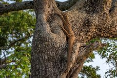 Bengal monitor or Varanus bengalensis. Or common Indian monitor on a tree royalty free stock photo