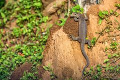 Bengal monitor or Varanus bengalensis. Or common Indian monitor on a tree stock photography