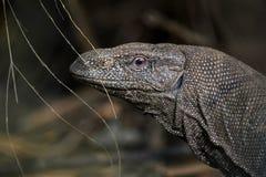 Bengal Monitor - Varanus bengalensis. Large lizard from Sri Lankan forests stock photography