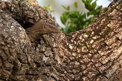 Bengal monitor or Varanus bengalensis. Or common Indian monitor on a tree stock photos