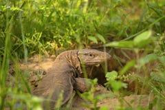 Bengal monitor,Varanus bengalensis, Jhalana, Rajasthan, India. This is found widely distributed over the Indian Subcontinent. Bengal monitor,Varanus bengalensis stock image