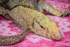 Bengal monitor (Varanus bengalensis) for sale in the wild market at Thai-Cambodia border market. Common Indian monitor, a monitor. Lizard found widely stock photography