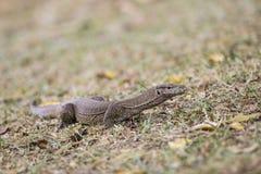 Bengal Monitor - Varanus bengalensis, Sri Lanka. Asian lizard searching for the food in the ground of bush royalty free stock image