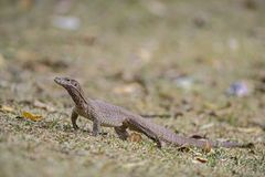 Bengal Monitor - Varanus bengalensis, Sri Lanka. Asian lizard searching for the food in the ground of bush stock images