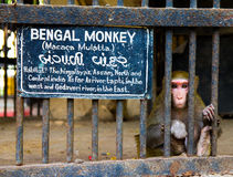 Bengal monkey behind bars in zoo with sad expression on her face Stock Photos