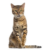 Bengal (11 months old) sitting and looking away Stock Image
