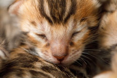 Bengal newborn kitten. Closee-up face of Bengal newborn kitten with closed eyes Royalty Free Stock Images