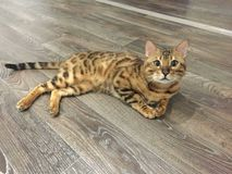 Bengal nyfiken katt som ligger på golvet arkivfoton