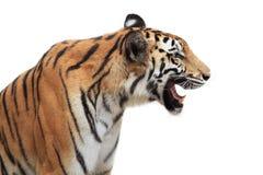 bengal odizolowywał tygrysiego biel Zdjęcie Stock