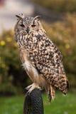 Bengal owl (BuboBubobengalensisen) Arkivfoto