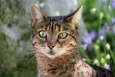 Bengal pedigree cat sitting outdoors in woods Royalty Free Stock Images